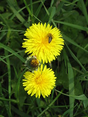 Dandelions with a bee