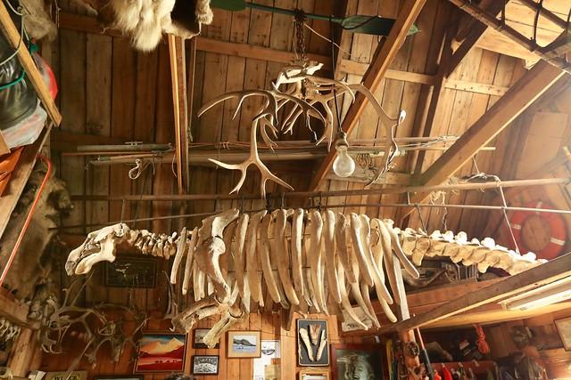 Extinct Species Steller's Sea Cow Skeleton Nikholskoye Settlement Bering Island Commander Islands Bering Sea Russia Far East
