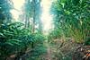 Cardamom Plantation in Munnar India