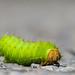 Polyphemus caterpillar by BruceK