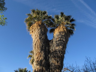 Two-Headed Palm Tree, Cottonwood Spring Oasis, Joshua Tree National Park, California