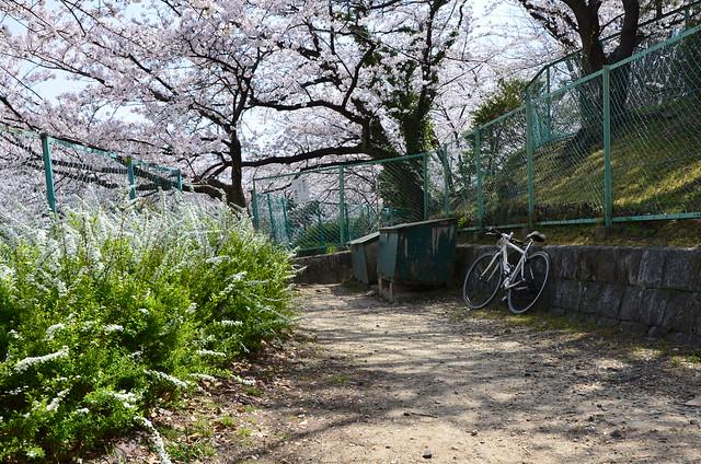 CherryBlossom_9