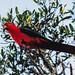 Small photo of Australian King Parrot (Alisterus scapularis)