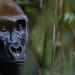 Western lowland gorilla IMG_8620