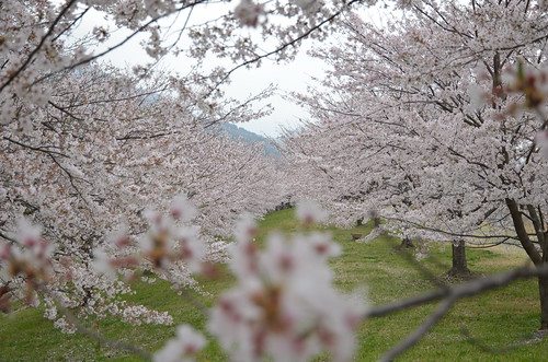 The cherry blossoms viewing.