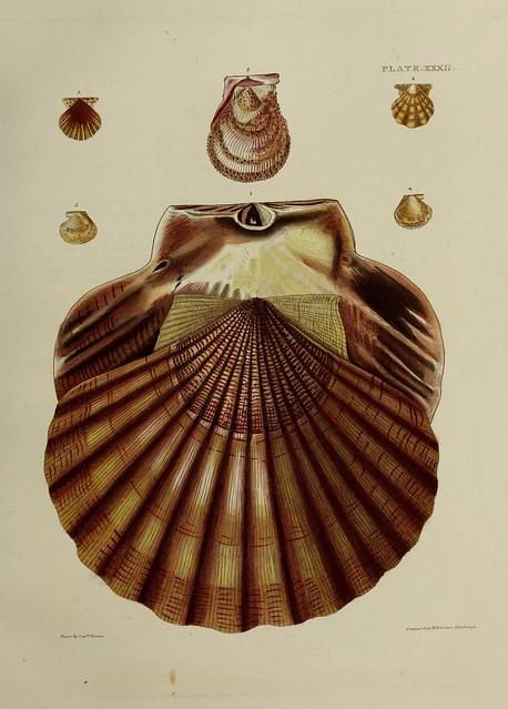 Illustrations of the conchology of Great Britain and Ireland