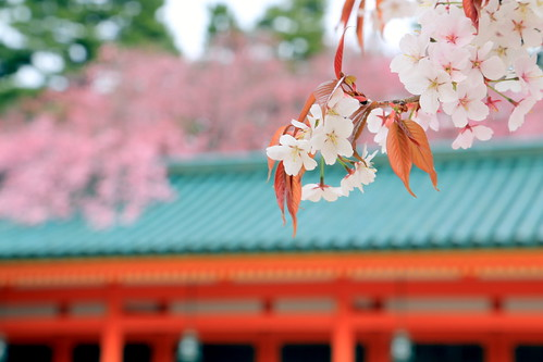 Heian Jingu Shrine Kyoto, Cherry Blossom Show 平安神宮〜京都 桜案内