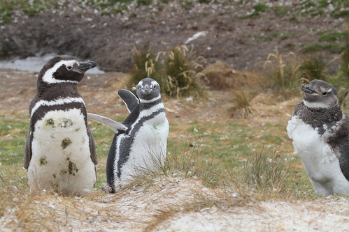 Magellenic Penguin Falklands February 2013 by graham crick