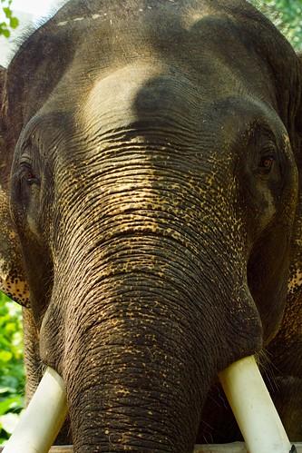 elephant thailand zoo march shadows sony trunk chiangmai alpha tusks chiangmaizoo a65 2013 totallythailand