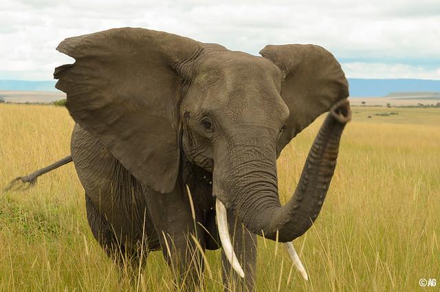 Elefant: