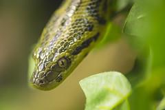 Paraguayan anaconda