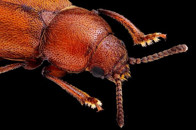 Sibirhelus corpulentus ♂