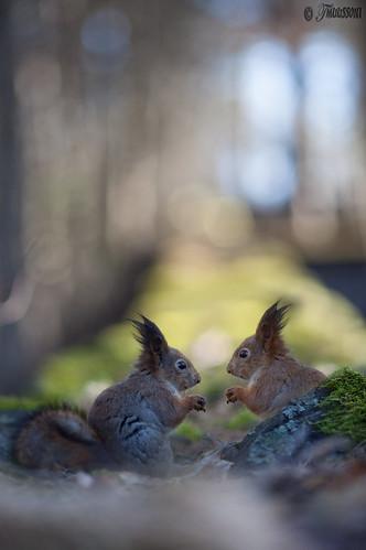 tree cute green nature animal rock canon rodent squirrel squirrels funny dof bokeh snapshot redsquirrel canonef135mmf20lusm canoneos5dmarkii tmuussoni ilobesterit