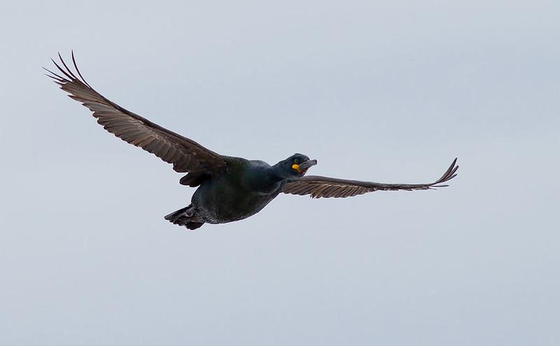 Shag in flight