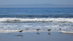 Sandpipers by Viejito