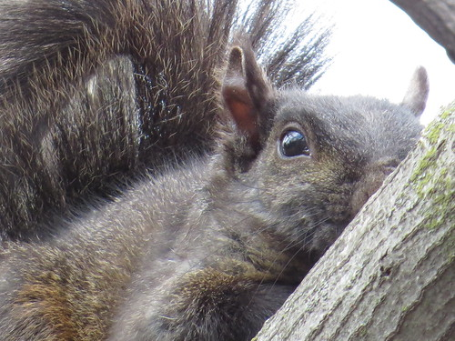 SX50_IMG_0034_Black_Squirrel