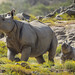 Mili and Mom Give Horns Up to New Digs at San Diego Zoo Safari Park by San Diego Zoo Global