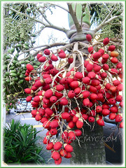 Ripen/Unripen fruits adorn our Adonidia merrillii (Christmas/Manila Palm) at the sidewalk, April 15 2013