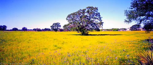 flower 120 film mediumformat geotagged texas bluebonnet panoramic wildflower filmscan coreopsis texaswildflowers 6x12 horseman612 horseman6x12 horseman6x12panoramiccamera geo:lat=30601262576001286 geo:lon=9834505200393323