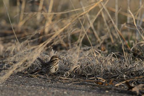 Song Sparrow-48851.jpg