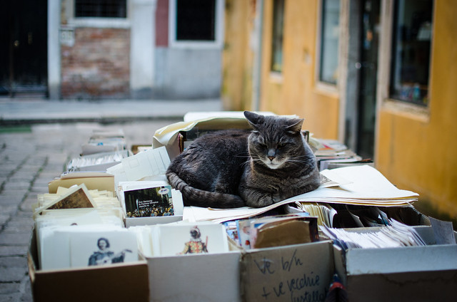 Gray bookshop kitty at Libreria Acqua Alta in Venice.
