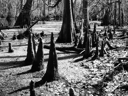 cypressswamp merchantsmillpond gastonnc