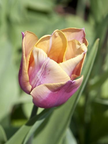 Tulip Spring 2013