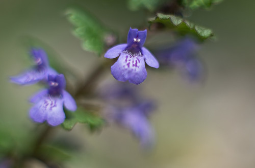 May 3rd - Glechoma hederacea