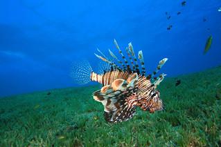 shutterstock_33485140_lionfish