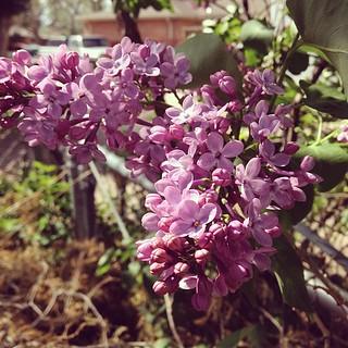 Day148 Beautiful flowers in my yard 5.28.13 #jessie365