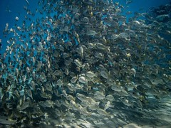 SCUBA diving through a huge school of fish in the waters off of Pemuteran, Bali • • • • • #scuba #indonesia #travel #artofvisuals #athomeintheworld #awesome_earthpix #awesome_photographers #awesomeearth #awesomeglobe #TLPicks #bestplacestogo #discoverglob