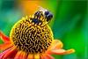 Helenium wasp
