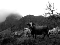 Bellino_003_Vacche-Pascolo_Bric Camosciera_08-16_BN