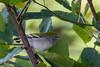 Got One!  (Chestnut-sided Warbler) by Daniel-Godin