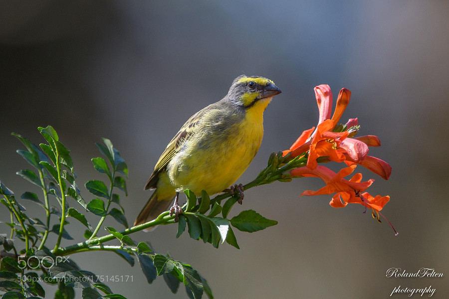 Yellow-fronted Canary by Roland-F | Kevin Seawright's ...