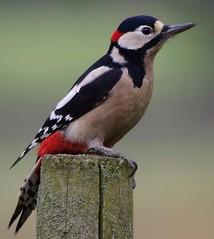 HolderGreat spotted woodpecker (1)
