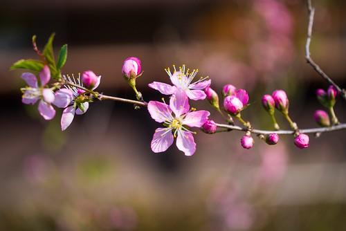 Japanese bush cherry