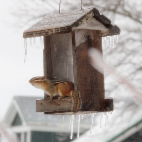Ice Storm: Icy Chipmunk