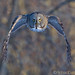 Chouette laponne / Strix nebulosa / Great Grey Owl by RichardDumoulin
