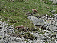 stream(0.0), tundra(0.0), marmot(0.0), animal(1.0), mammal(1.0), fauna(1.0), mountain goat(1.0), wilderness(1.0), chamois(1.0), wildlife(1.0),