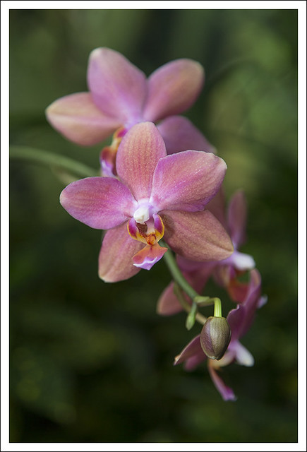 MoBot Orchid Show 2013-03-31 5