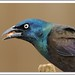 grackle by lindapp57