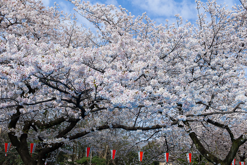The magnificent cherry blossom trees are a sight to behold.