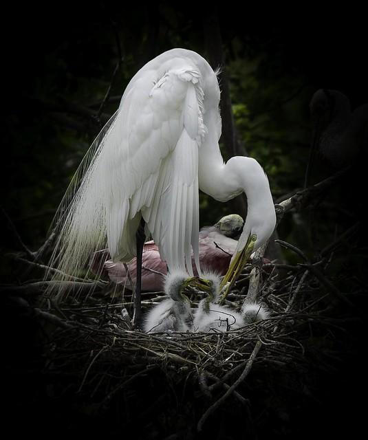 Great white egret and chicks (Ardea alba)