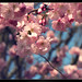 Sakura Berlin 3 by Mikedie1