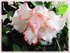 Bi-coloured Rhododendron simsii (Indoor Azalea, Indian/Sim's/Chinese Azalea, Azalea Indica), April 13 2013