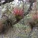 Bromeliads in the trees - Bromelias en los árboles; Región Mixes, Oaxaca, Mexico por Lon&Queta
