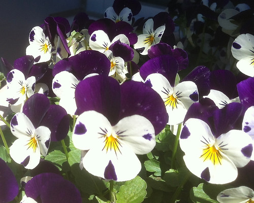 Sweet Violas by randubnick