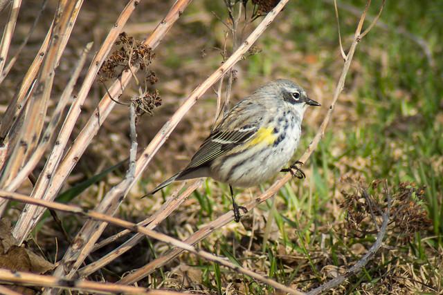 Yellow Rumped Warbler (female)