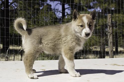 Ike-Kilbe-Pup1-Male(Day 40)-3